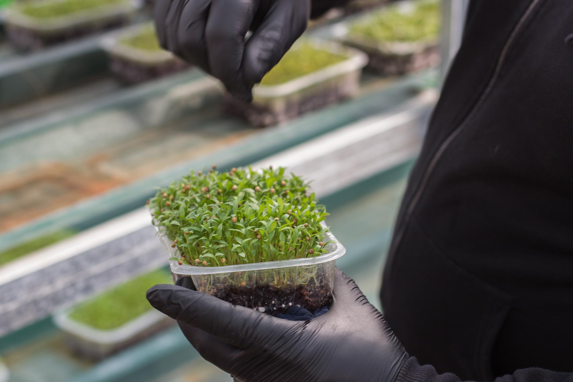 Як виростити мікрозелень?