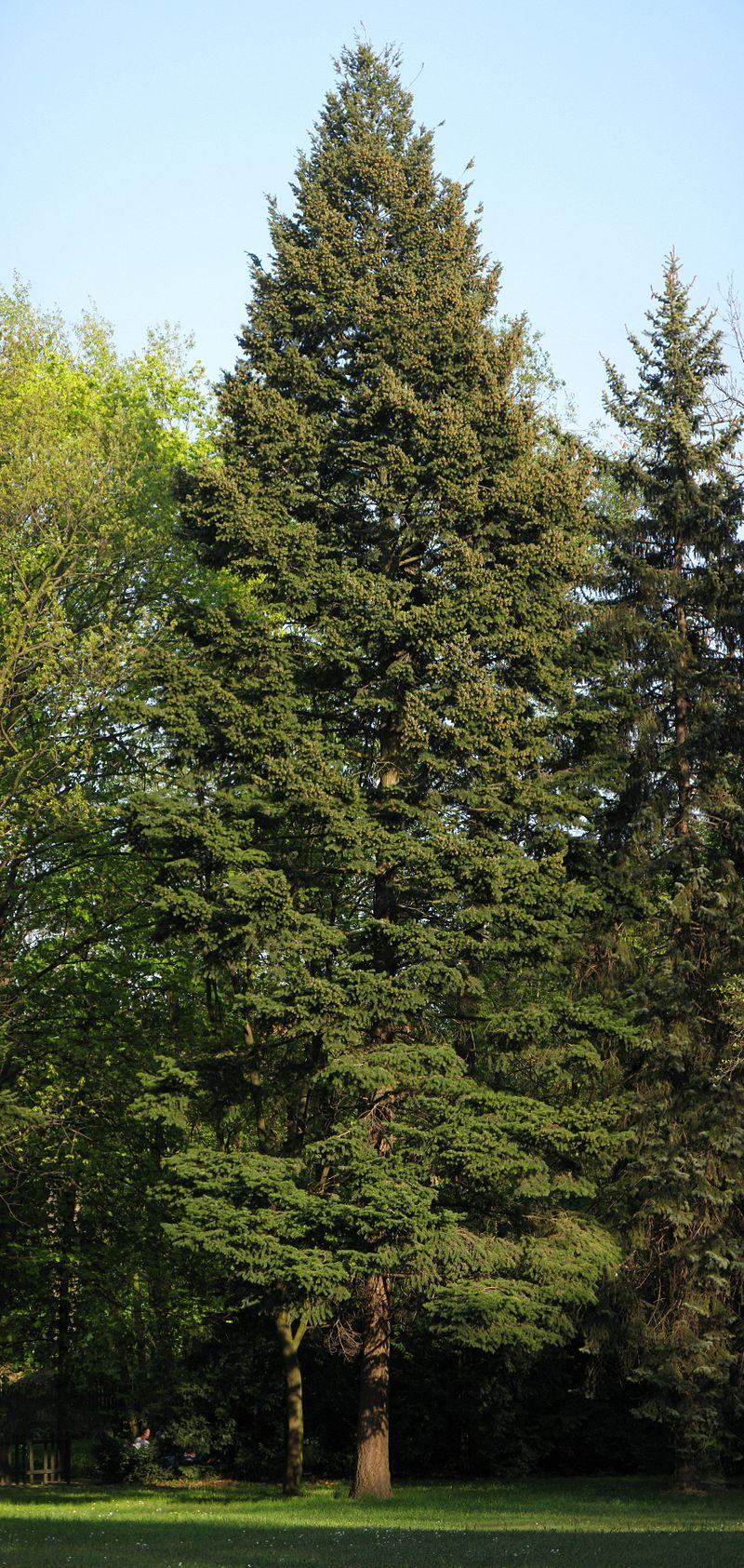 Так виглядає псевдотсуга Мензіса. Фото: Вікіпедія